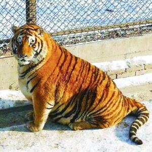 """虎林园里""""身材走样""""的老虎照片,图片中""""丛林之王""""们有如充饱气的气球"""